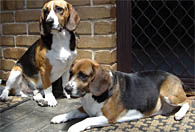 Beagles waiting for Adelaide dog trainer Sam.