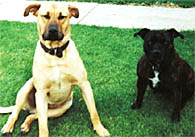 Labrador and staffy waiting to be trained.