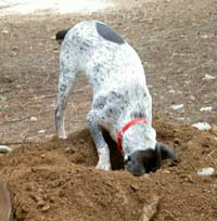 dog digging, dog training